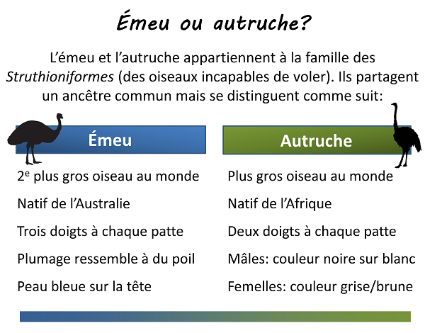 Différences entre un émeu et une autruche